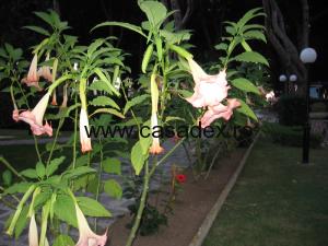 Trompeta ingerilor, floare de gradina