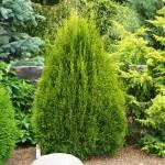 Tuia Occidentalis, Smaragd – plantare si ingrijire