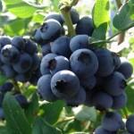 Afinul de cultura – arbust ornamental si fructifer