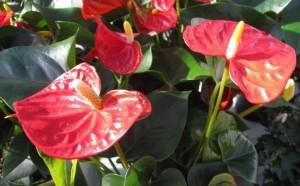 anthurium planta decorativa de interior
