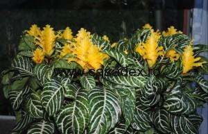 aphelandra floarea zebra