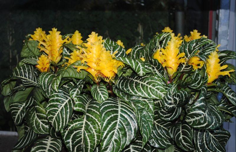 Aphelandra sau floarea zebra