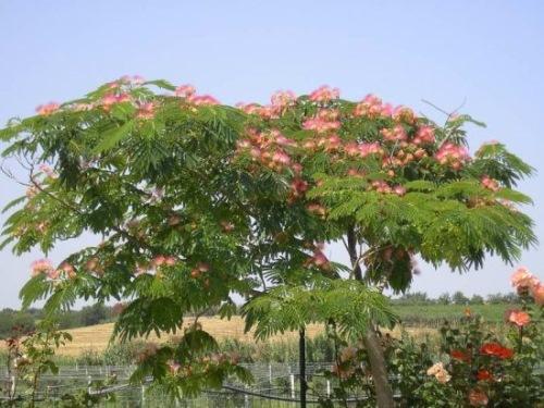 arborele de matase mimoza