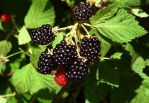 arbust mur cu fructe