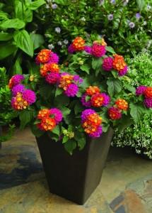 arbust ornamental Lantana cu flori mov galbene si portocalii
