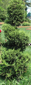 Arbusti ornamentali, tunderea coniferelor