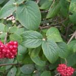 arbust viburnum opulus L calin fructe rosii