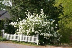 arbust viburnum opulus roseum