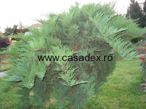 Coniferele si arbustii ornamentali – farmecul unei gradini