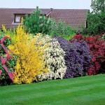 5 arbusti ornamentali pentru o gradina frumoasa