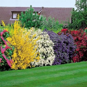 arbusti ornamentali de gradina