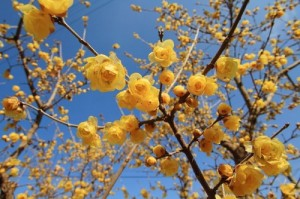 arbustul zanei chimonanthus
