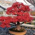 Cum se modeleaza coroana copacilor, pomilor si arbustilor, fara taiere. Cum se face un bonsai? VIDEO