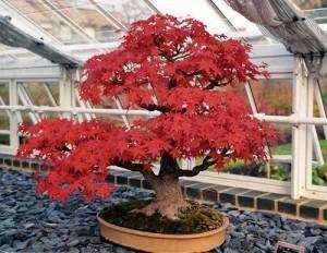 artar japonez coroana modelata bonsai