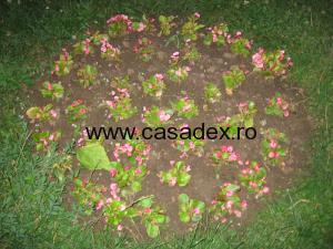 begonie de gradina roz