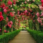 13 curiozitati despre trandafir – cea mai iubita dintre florile pamantului