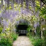 bolta imbracata in wisteria glicina parcul waterperry din oxfordshire anglia