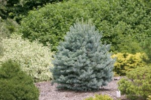 brad argintiu arbore conifer ornamental