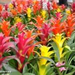 Bromelia – floare exotica de apartament