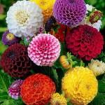 Carciumareasa, floare anuala pentru gradini colorate
