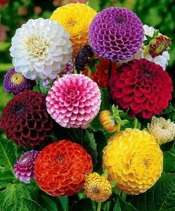 buchet de carciumarese colorate flori anuale de gradina