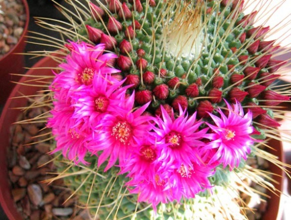 cactus de apartament inflorit