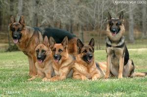 Ciobanesc german sau cainele lup – Paza pentru curte