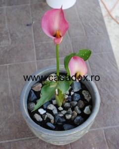 Cala (Zantedeschia aethiopiea)