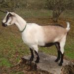 Despre capre – rasa Alpina Franceza