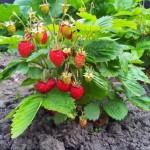 Plantarea capsunilor primavara