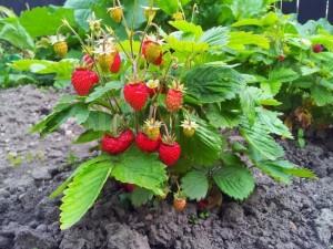 capsuni plante fructifere de gradina