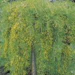 Caragana – un arbust rezistent la conditii vitrege