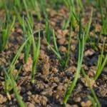 Cum sa cultivi ceapa, in gradina ta