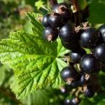 Coacazul negru, arbust fructifer de gradina