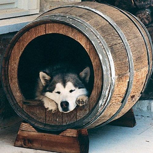 cotet caini din butoi de vin