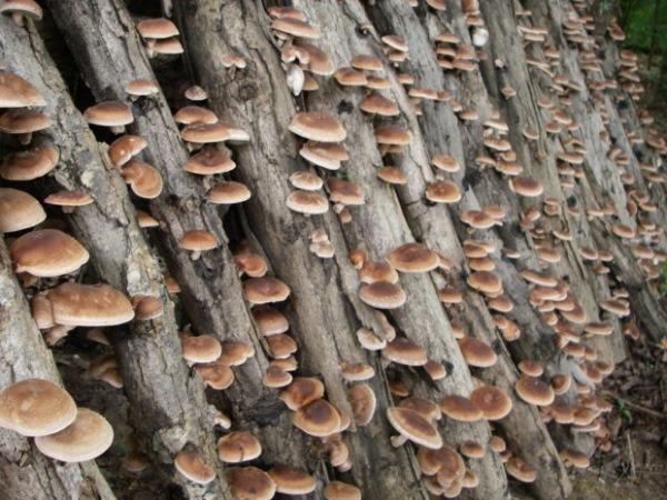 crescatorie de ciuperci shiitake pe busteni de lemn inoculati cu spori