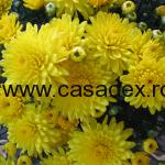 crizanteme galbene