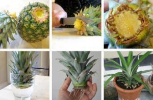 Cultivare ananas, la tine in casa