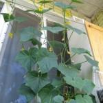 cultivare castraveti in ghiveci in balcon apartament