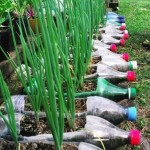 cultivare ceapa verde in peturi de plastic reciclate