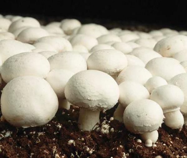 cultivare ciuperci champinion agaricus bisporus