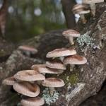 cultivare ciuperci shiitake pe busteni de lemn inoculati cu spori