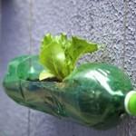 cultivare salata verde in balcon in sticla plastic reciclata