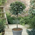 Dafinul, un arbust potrivit in orice gradina