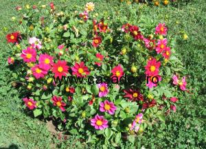 Dalia (Gherghina), floarea din gradina casei