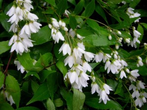 deutzia flori albe arbust ornamental
