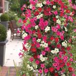 Dipladenia, planta decorativa de apartament si de gradina