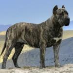 Dogul de Canare (Presa Canario), caine de paza