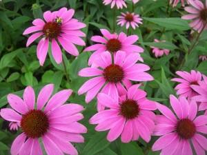 echinacea floare perena gradina
