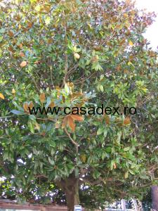 Ficusul, ingrijire si inmultire